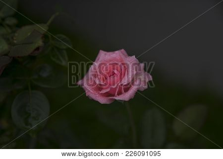 A Pink Rose Is Fully Bloomed With Water Droplets In The Early Morning