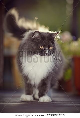 Fluffy Cat Of A Smoky Color With Yellow Eyes, Lit With The Sun.