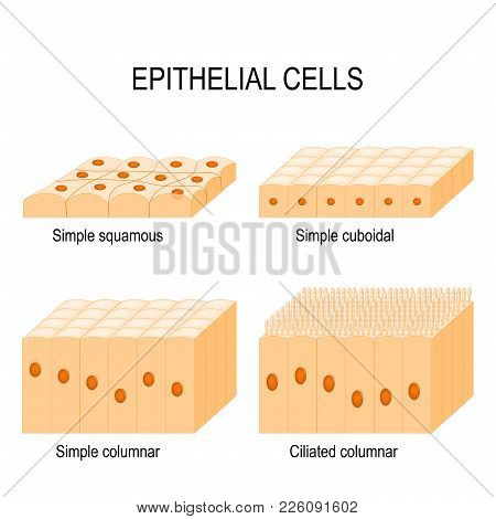 Types Of Epithelial Cells: Cilliated Columnar, Simple Columnar, Simple Cuboidal, And Simple Squamous