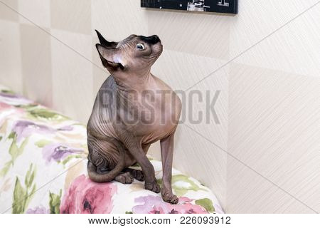 Canadian Sphynx, Bald Hairless Cat Without Wool Sits On The Back Of The Sofa And Looks Up, Cat Of Br