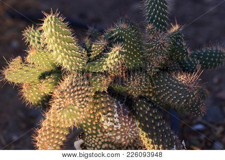 Cactus Landscape. Cultivation Of Cacti. Cactus Field. Garden Of Flower. Selective Focus.