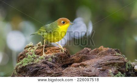 Tesia Casta Neocoronata  : Bird Shot In Thailand