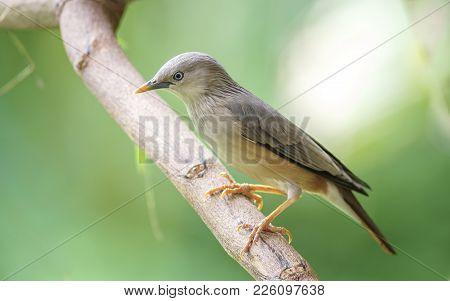 Chestnut Tailed Starling :bird Shot In Thailand