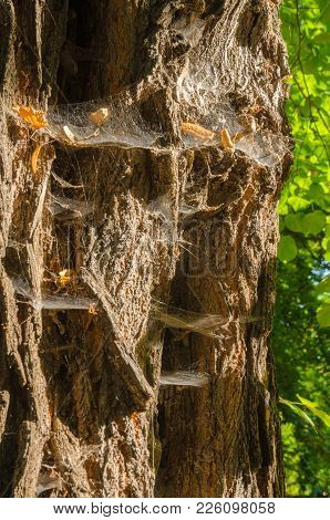 Old Rutted Bark With Spider Webs In Edge Light