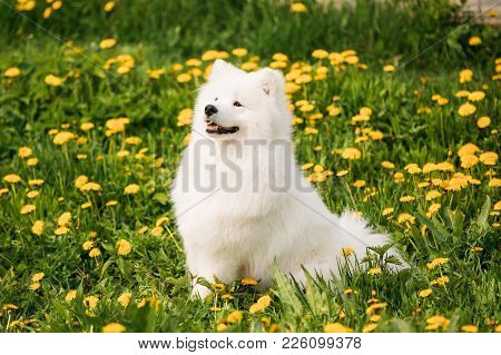 Funny Young Happy Smiling White Samoyed Dog Or Bjelkier, Smiley, Sammy Sit Outdoor In Green Spring M