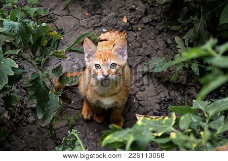 Red Kitten In The Garden Looks Right Into The Soul