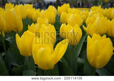 Yellow Tulip Flowers In A Garden In Lisse, Netherlands, Europe