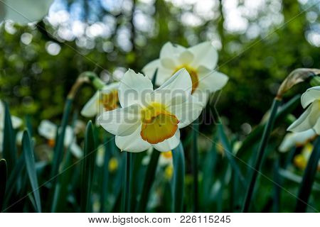 White Daffodil With Blurred Background In A Garden In Lisse, Netherlands, Europe