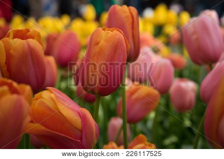 Red Tulip Flowers In A Garden In Lisse, Netherlands, Europe