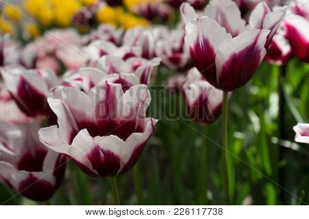 White And Magenta Tulip Flowers In A Garden In Lisse, Netherlands, Europe
