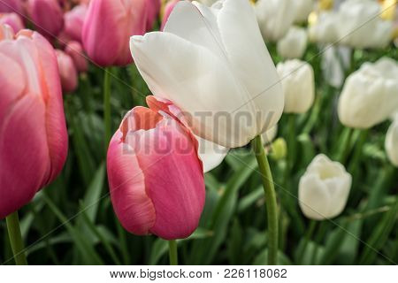 White And Pink Tulip Flowers In A Garden In Lisse, Netherlands, Europe