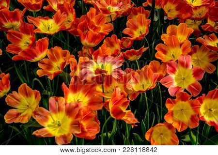 Red And Yellow Tulip Flowers In A Garden In Lisse, Netherlands, Europe