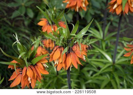 Wild Flower Plant In A Garden In Lisse,keukenhoff, Netherlands, Europe