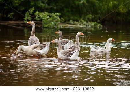 A Herd Of Beautiful White Geese Floating In A Pond