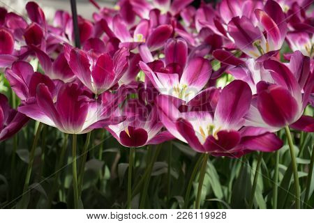 Pink Tulip Flowers In A Garden In Lisse, Netherlands, Europe