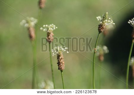 Beautiful Wild Broadleaf Plantain Growing Wild In Feild In Indiana Up Close