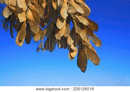Seeds Of Ash On A Branch Against Blue Sky