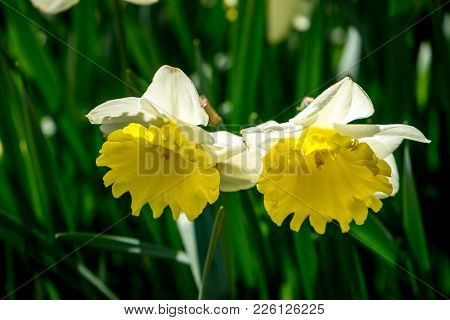 Yellow Couple Tulips In A Garden In Lisse, Netherlands, Europe