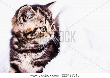 Scottish Straight Kitten In A White Plaid. Pet And Domestic Animal.