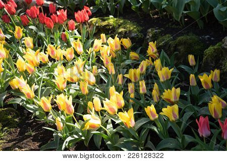 Yellow Tulips In A Garden In Lisse, Netherlands, Europe