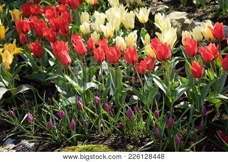 Red, White And Yellow Tulips In A Garden In Lisse, Netherlands, Europe
