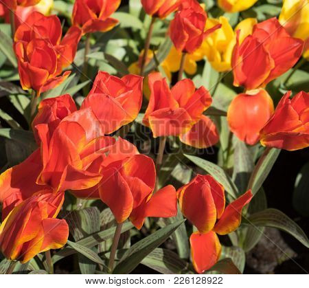 Lovely Surprise Of Orange Tulips In A Flower Garden In Lisse, Netherlands, Europe