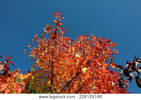 A Autumn Tree With Blue Sky Background