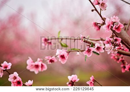 Almond Blossom Spring Background. Beautiful Pink Spring Tender Flowers Blossom. Pink Almonds Cherry