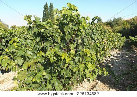 View Of A Wineyard In La Rioja, Spain
