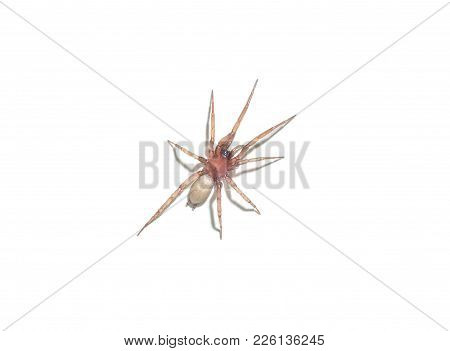 Spider Argyroneta Aquatica Isolated On White Background