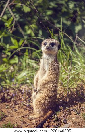 Member Of A Family Of Meerkats Suricata Seeds As Well As Insects On Guard On The Lawn With Green Gra