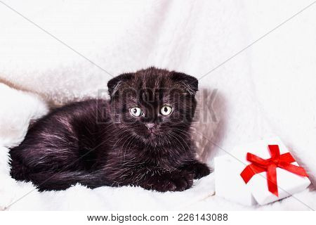 Scottish Fold Kitten In A White Plaid With Gift Box. Pet And Domestic Animal.