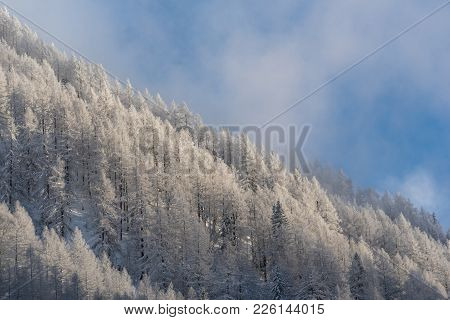 Pine Trees On Mountain Side Illuminated By Afternoon Sun Covered In Snow And Ice After Winter Storm