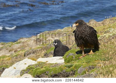 Striated Caracara (phalcoboenus Australis) With Their Nearly Full Grown Chick On The Cliffs Of Carca