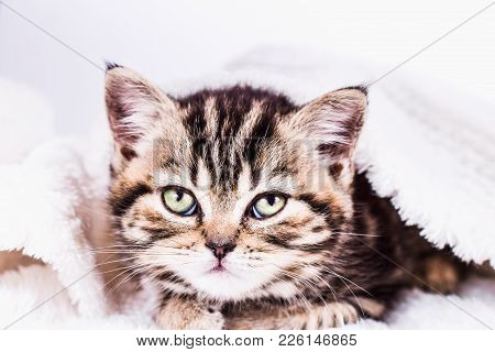 Scottish Straight Kitten In A White Plaid Go To Sleep. Pet And Domestic Animal.