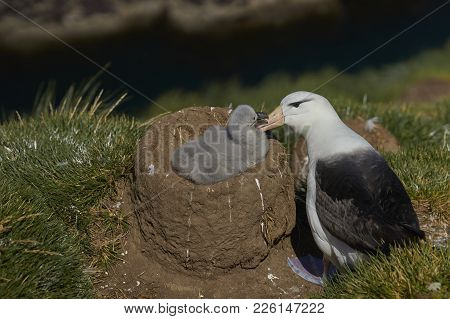 Black-browed Albatross (thalassarche Melanophrys) Grooming Its Chick On The Cliffs Of West Point Isl
