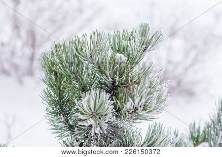 Hoarfrost On A Branch Of Conifer Tree With Bokeh Background.