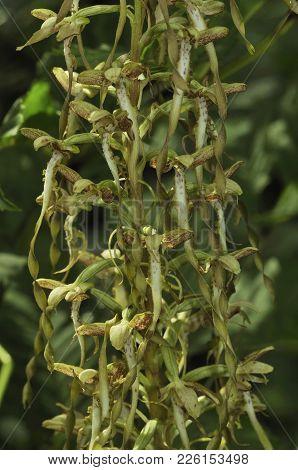 Lizard Orchid - Himantoglossum Hircinum  Rare Orchid Flower