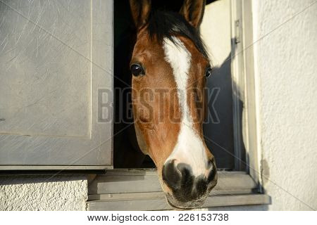 Head Of A Thoroughbred Brown-white Horse Looks Out The Window Of The Stables
