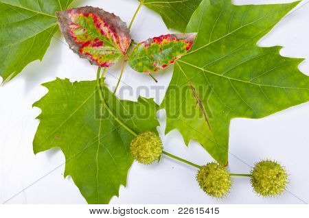 Sheets And Fruits Of An American Sycamore