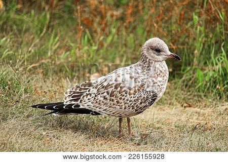 A Juvenile Ring-billed Gulls Stands On Grass.