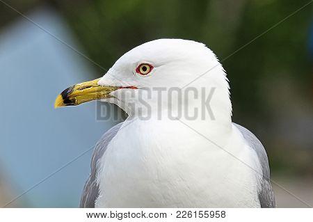 A Closeup Head Portrait Of A Ring-billed Gull.
