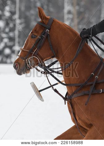 Red Horse Pony  Head In Harness On Horse Polo