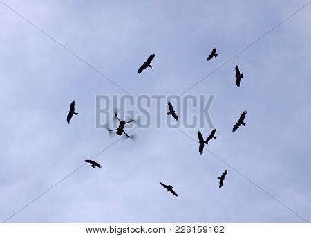 Drone Flies To A Flock Of Black Kites  (lat. Milvus Migrans) Against The Sky