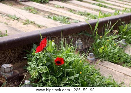 Anemones Are Blooming Beside The Rails On An Abandoned Rail