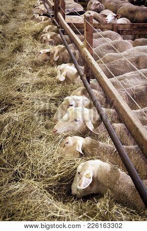 Female Sheeps Eating Hay In Sheepfold Farm