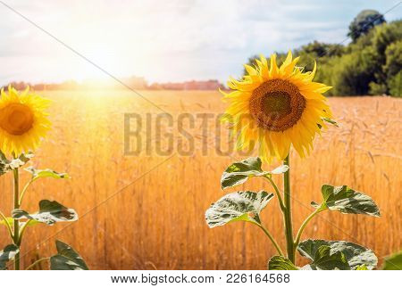 Flowers Sunflower Closeup And Wheat Field Against The Background Of A Distant City, Blue Sky, Clouds