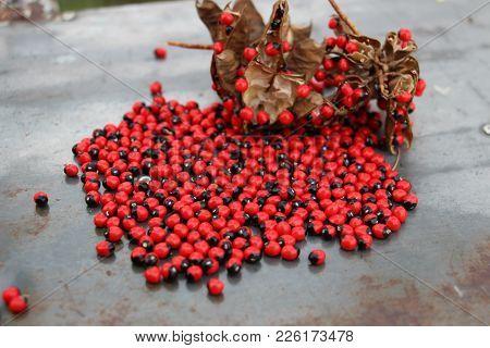 Red And Black Seed Of Abrus Precatorius