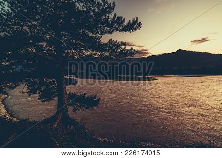 Sunset In Mountains: Wide-angle View Of Cedar Tree, River Katun And Its Shingly Riverside, Silhouett
