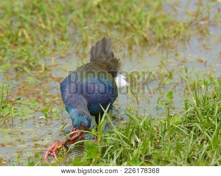 African Swamp hen (Porphyrio madagascariensis) in Lake Manyara National Park